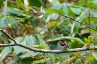 信越自然郷の鳥達キビタキ、オオアカゲラ、… - 野沢温泉とその周辺いろいろ2