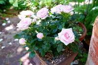 バラの季節がやってきた! - 「旅とアロマのナビゲーター」     アロマセラピストまえだゆーこのブログ
