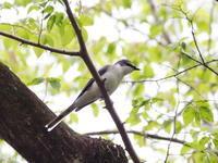 梢に飛来したサンショウクイ - コーヒー党の野鳥と自然パート3