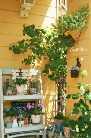 美容都市伝説&ラベンダー4姉妹たち♥ - ハイジの玄関先ガーデン エピソード2♪