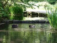 カルガモの池 - 平さん