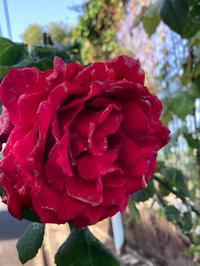 薔薇とクレマチス - おうちやさい