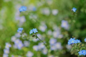 ワスレナグサの思い出 - 薔薇好き花好き庭が好き〜元英国在住・アートセラピストが造る癒しの庭
