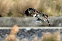 キビレを持って飛ぶミサゴ - 蝶鳥写楽