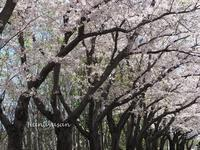 ソメイヨシノ最終章 - 続・こもれびの森