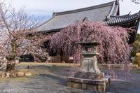 2021桜咲く京都 桜咲く立本寺 - 花景色-K.W.C. PhotoBlog