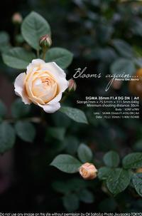 ツボミも花も、描いて蕩ける美しさ。SIGMA 35mm F1.4 DG DN | Art + sony α7R IV 作例#SIGMA #カメラ #薔薇 - さいとうおりのお気に入りはカメラで。