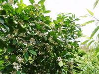 無農薬栽培の『種なしかぼす』元気な花が咲き誇っていました!(2021) - FLCパートナーズストア
