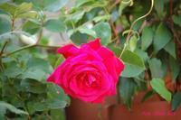 庭の薔薇 - LLC徒然