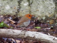 散策路から撮影したコマドリ - コーヒー党の野鳥と自然パート3