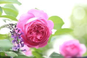 マイガーデンのバラ - マイ・ライフ