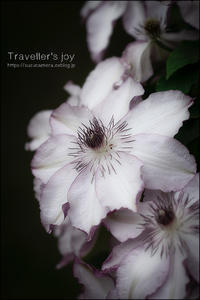 Traveller's joy - すずちゃんのカメラ!かめら!camera!