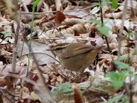 薮の中のヤブサメ - コーヒー党の野鳥と自然パート3