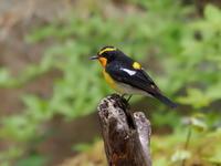 緑陰に浮き立つキビタキ - コーヒー党の野鳥と自然パート3