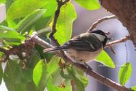小鳥のさえずり - あおいくまの子守歌