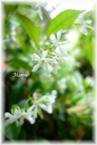 スタージャスミンが咲くころ - おだやかに たのしく Que Sera Sera