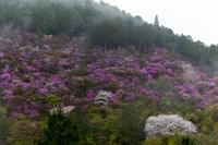 2021桜咲く京都 雨に煙るミツバツツジ(高雄・西明寺) - 花景色-K.W.C. PhotoBlog
