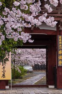 2021桜咲く京都 本法寺の桜光景 - 花景色-K.W.C. PhotoBlog