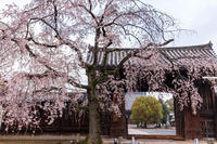 2021桜咲く京都 妙覚寺のしだれ桜 - 花景色-K.W.C. PhotoBlog