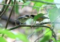 ヤマガラ親子♪ - 写真で綴る野鳥ごよみ