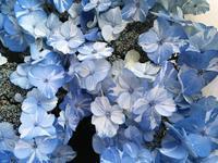 珍しい絞り花のあじさい - 赤城焼・陶器のねこと苔玉あそび.ハナイカダ探検隊