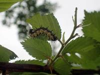 シータテハ幼虫 - 秩父の蝶