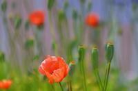 この花も外来種 - ニット美津江・ダイアリー