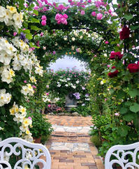 遅咲き品種も続々と咲き出しました♡ - 薪割りマコのバラの庭