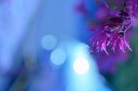 マンサク - さぬき風花