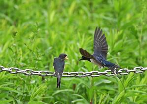 矢切=ツバメ給餌 - 関東界隈の野鳥達