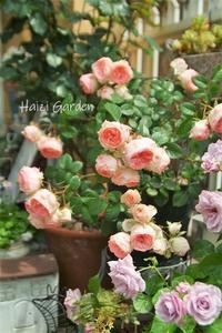 おやゆび姫・・・の花 - ハイジの玄関先ガーデン エピソード2♪