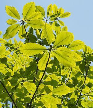 ホオノキの観察(1)団扇状の葉と伸びる茎 - 自然観察大学ブログ