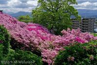 日吉神社-町が見えるつつじ - Mark.M.Watanabeの熊本撮影紀行