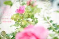 玄関前の薔薇 - ナナイロノート