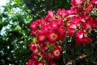 ☆福山ばら祭の薔薇Ⅴ☆ - できる限り心をこめて・・Ⅳ