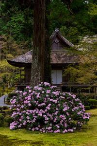 2021桜咲く京都 石楠花と桜咲く三千院(前編) - 花景色-K.W.C. PhotoBlog