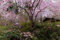 2021桜咲く京都 石楠花と桜咲く三千院(後編) - 花景色-K.W.C. PhotoBlog