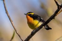 やっと、キビタキ - 北の大地で野鳥ときどきフライフィッシング