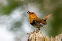 コマドリ祭り - 北の大地で野鳥ときどきフライフィッシング