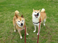 今日と5月7日のお散歩 - abby & zack 2