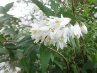 卯の花 - だんご虫の花