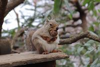 クルミをかじるニホンリスとミーアキャットの子供たち(井の頭自然文化園 March 2020) - 続々・動物園ありマス。