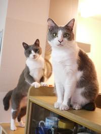猫のお留守番 赤福くん伊賀丸くん編。 - ゆきねこ猫家族