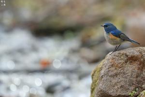 渓流のルリビタキ - 野鳥公園