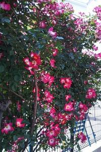 """""""バラ"""" 6種類に囲まれて心和む幼稚園 を再訪しました - 健気に育つ植物たち"""