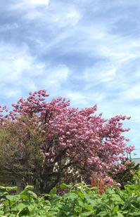 青空と八重桜♪ - 笑う門には福来たる