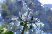 近所の紫陽花(その3 今回は違う花も) - 魔王の独り言 続編