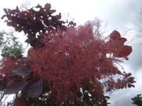 スモークツリー - だんご虫の花