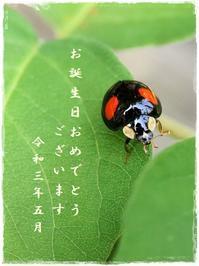 5月生まれの皆さまへカードをどうぞ!ヤグルマギク・キビタキ♂・ナミテントウ2021/5/20 Tokyo - むっちゃんの花鳥風月  ( 鳥・猫・花・空・山 )