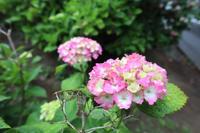 色鉛筆画~ 紫陽花 ~ - 鎌倉のデイサービス「やと」のブログ